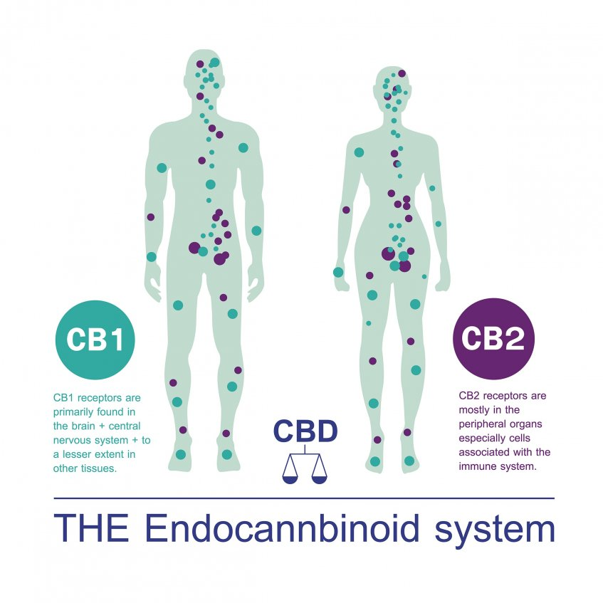 cbd the-endocannabinoid-system